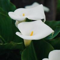 vacker lilja calla blomma i trädgården under vårsäsongen foto