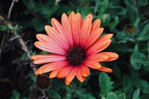 vacker röd blomma växt i trädgården på våren foto