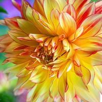 gul och röd dahlia foto