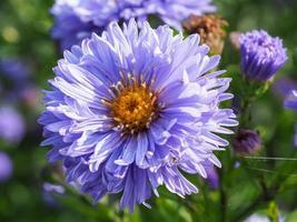 blå asterblomma foto