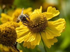 bi på en gul blomma foto