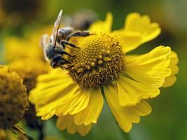 honungsbi på en gul blomma foto