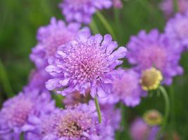 lila scabious blommor
