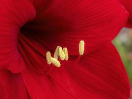 röd amaryllisblomma foto