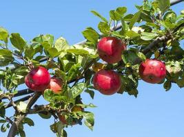 röda äpplen mognar på en trädgren foto
