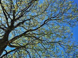 grenar av ett sycamorträd foto