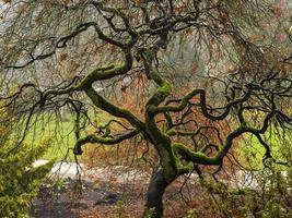 mossigt acer träd med vridna grenar foto