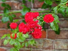 klättring av röda rosor som blommar mot en tegelvägg foto