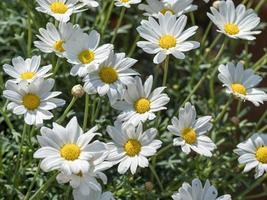 vita prästkragar i en solig trädgård foto