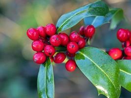 glänsande röda järnekbär och gröna blad foto