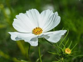 vit kosmosblomma i en trädgård foto