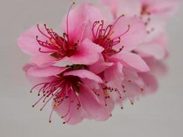 närbild av persikablomningar foto