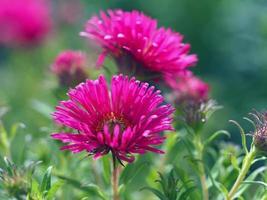 rosa kinesiska asterblommor foto