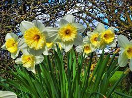 närbild av en grupp påskliljor foto
