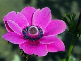 närbild av en anemonblomma foto