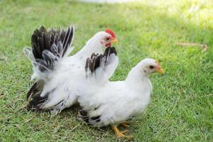 två vita kycklingar på grönt gräs, färgglad tupp. kuk foto