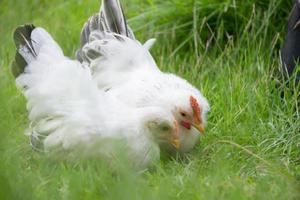 två vita kycklingar på grönt gräs, färgglad tupp. kuk. bantam foto