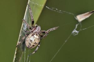 larinioides cornutus, fågelspindeln, foderbenspindeln eller lövspindeln är en orb-vävare spindel, Kreta foto