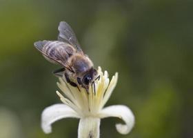 europeisk honungsbi - apis mellifera, grekland foto