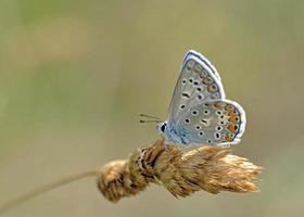 vanlig blå - polyommatus icarus, grekland foto