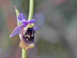 blomma av ophrys episcopalis, Grekland foto