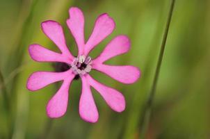 silene colorata, cloven-petalled campion, crete foto