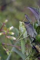 tettigonia viridissima, den stora gröna buske-cricket, är en stor art av katydid eller bush-cricket som tillhör familjen tettigoniidae, underfamilj tettigoniinae, grekland foto