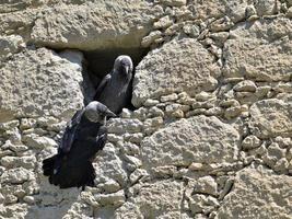 eurasian jackdaw - corvus monedula, grekland foto
