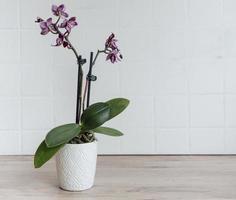 lila orkidéer i en vit kruka foto