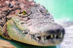 krokodilhuvud med tandig mun och gula ögon på nära håll foto