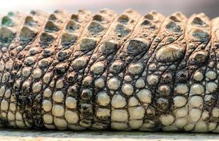 alligator krokodilhud detaljmönster på nära håll foto