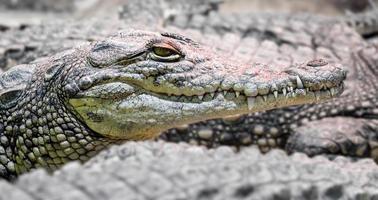 flera krokodiler i alligatorer, farliga köttätande reptiler på nära håll foto