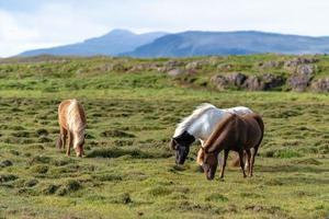 isländska hästar som betar fritt i ett fält foto