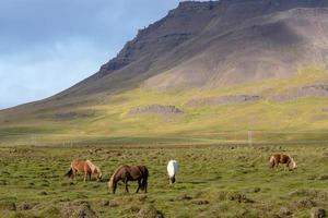 grupp isländska hästar som betar i ett fält foto