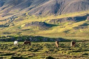 flock isländska hästar som betar i ett stenigt fält foto