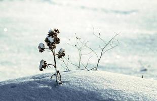 torkad blomma i en snödrivavinter, kallt klimatbakgrundsnärbild foto