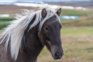 närbild av en brun isländsk häst foto
