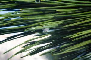 vattendroppar på gröna nålar av en trädgran, makro närbild, vårbakgrund foto
