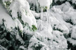 istappar på snöiga grenar av gran på nära håll, natur kall vinterbakgrund foto