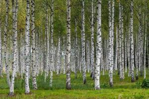 björkträd med grönt gräs foto