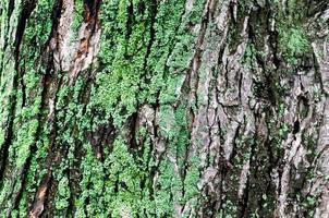 trä bakgrund av lönn trädstam med grön mossa foto