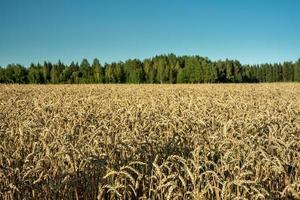 fält av vete med träd foto