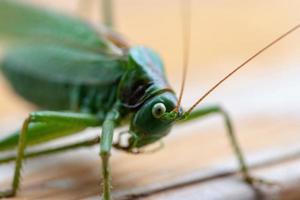 närbild av en gräshoppa foto