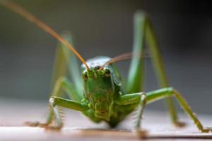 närbild av en stor grön busk cricket foto