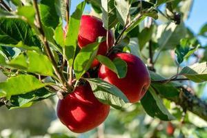 bunt röda äpplen foto