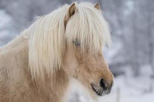 närbild porträtt av en ljusbrun isländsk häst foto