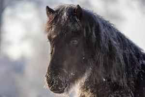 svart isländsk häst i snön foto