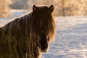 brun häst i snön i solljus foto