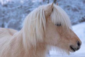 närbild av en isländsk häst på vintern foto