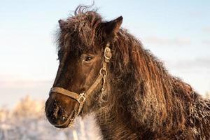 mörkbrun isländsk häst foto